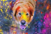 Cachorro Labrador Indiano
